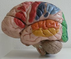 Brain model - © R. Blumhofer